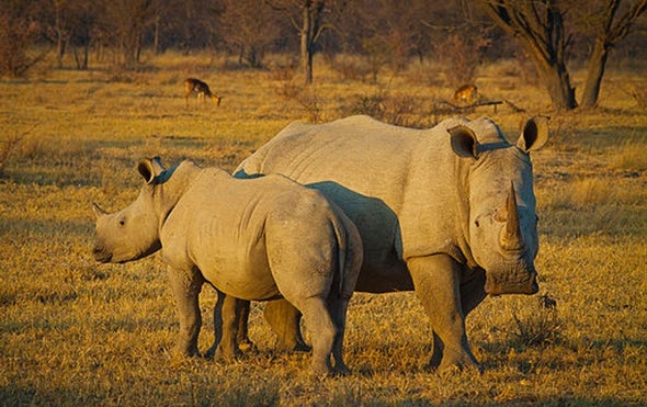 Audacious Stem Cell Plan Aims to Halt Rhino Extinction