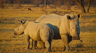 Audacious Stem Cell Plan Aims to Halt Rhino Extinction