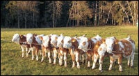 Cloned Cows Manufacture Cancer Treatment