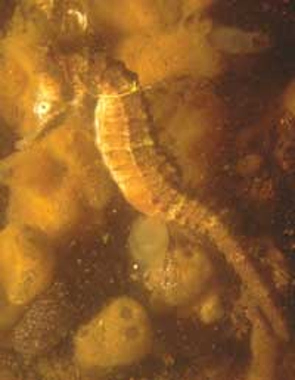 Male Pregnancy May Spur Seahorse Speciation