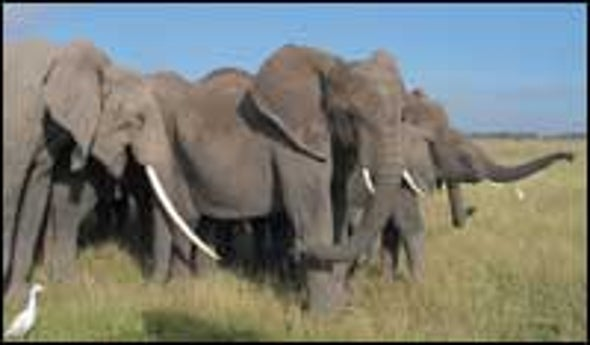 Elephants Found Capable of Vocal Mimicry