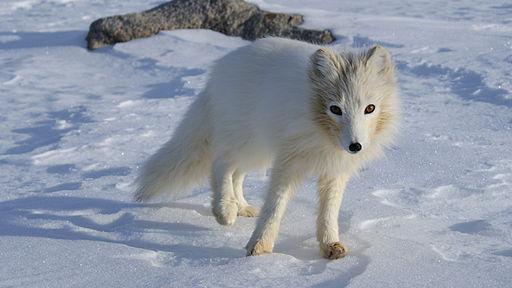 Arctic Fox Origins Traced to Tibet