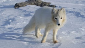 Arctic Fox Origins Traced to Tibet