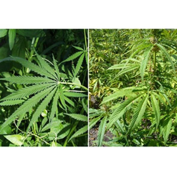 Half-Baked Idea?: Legalizing Marijuana Will Help the Environment