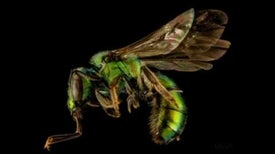 US Biologist Creates Buzz about Bees