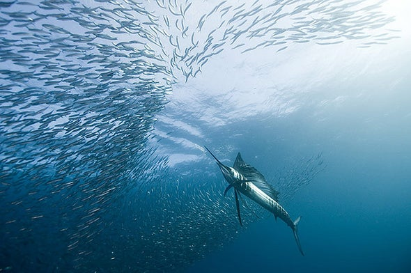 Speedy Fish's Swordlike Bill Serves as Multifunctional Killing Tool