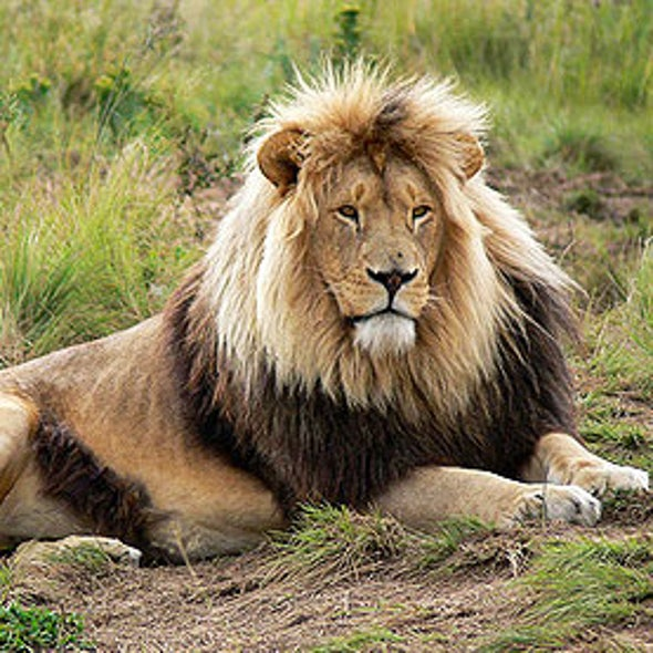 Fenced-In Lions Divide Wildlife Conservationists