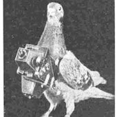 PIGEON SCOUT: