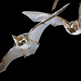 Taking Wing: Uncovering the Evolutionary Origins of Bats