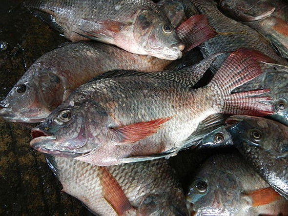 Fish Skin Bandages Helps Heal Wounds