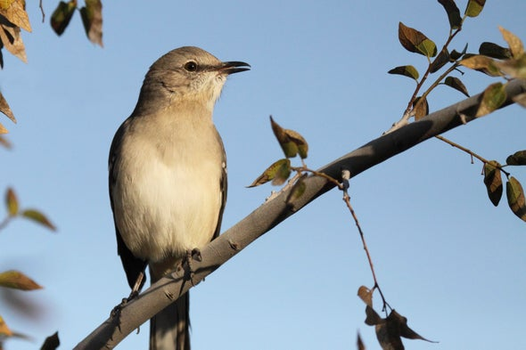 Mockingbirds Are Better Musicians Than We Thought