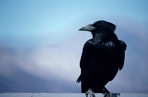 Ravens Crow with Individual Flair