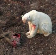 Polar Bears Hunt on Land as Ice Shrinks