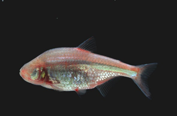 Blind Cavefish Stops Its Internal Clock