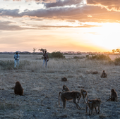 Out in the field: Mututua and Siodi observe Acacia's group of yellow baboons at dusk in early November.