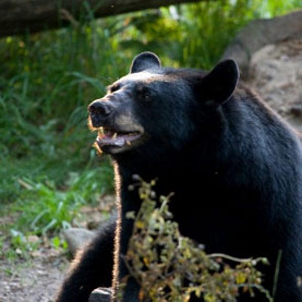 Dispute over Celebrity Bear Researcher Heats Up