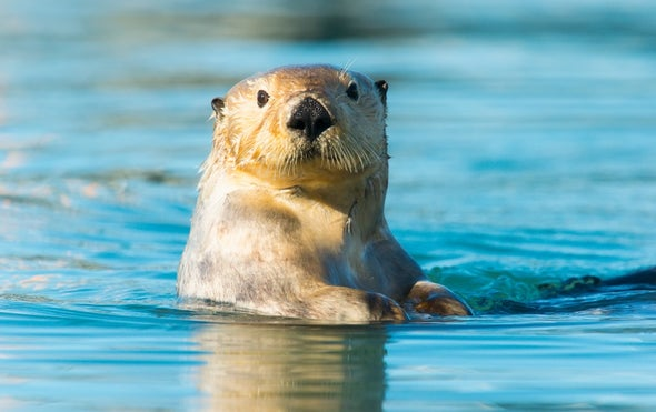 Sea Otters' Powerful Paw Prey Perception
