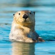 Sea Otters' Powerful Paw Prey Perception