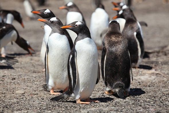 Gentoo Penguins Thrive, While Adelies and Chinstraps Falter in a Climate-Changed World