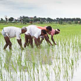 Workers weed transplanted rice at the control farm of the Seed Certification Agency of the Ministry of Agriculture, Government of Bangladesh
