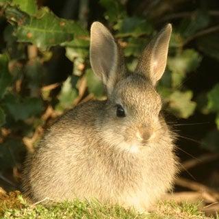 Slide Show: Rabbits at Risk