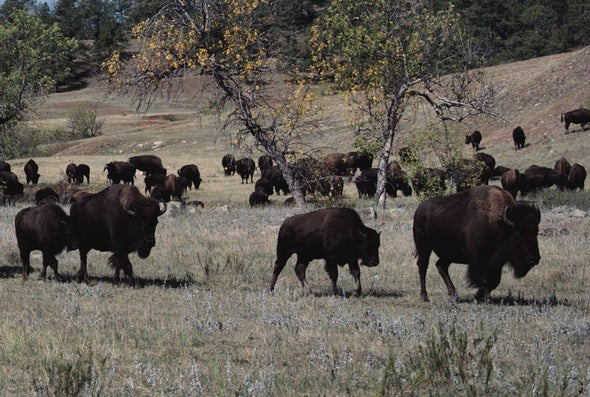 Bison Comeback Story Has a Bronx Accent