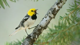 Warbler Species Fires Up Song Diversity