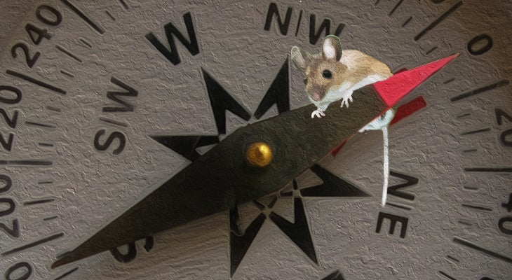 Mouse Senses Magnetic Fields Possibly via Quantum Processes