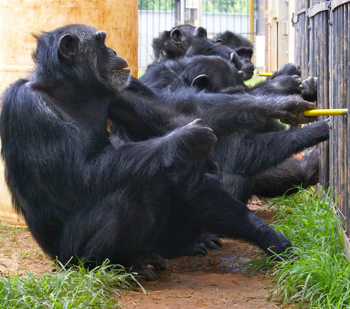 like humans chimps reward cooperation and punish freeloaders