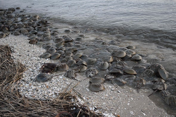 Medical Labs May Be Killing Horseshoe Crabs