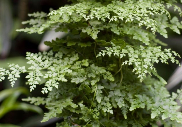 Ferns Communicate to Decide on Their Sexes