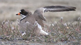 Climate Change May Curtail Shorebirds' Need to Fly North
