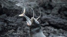 View to a Kill: Galápagos Sea Lions Team Up to Capture Huge Tuna