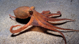 Rolling under the Sea: Scientists Gave Octopuses Ecstasy to Study Social Behavior