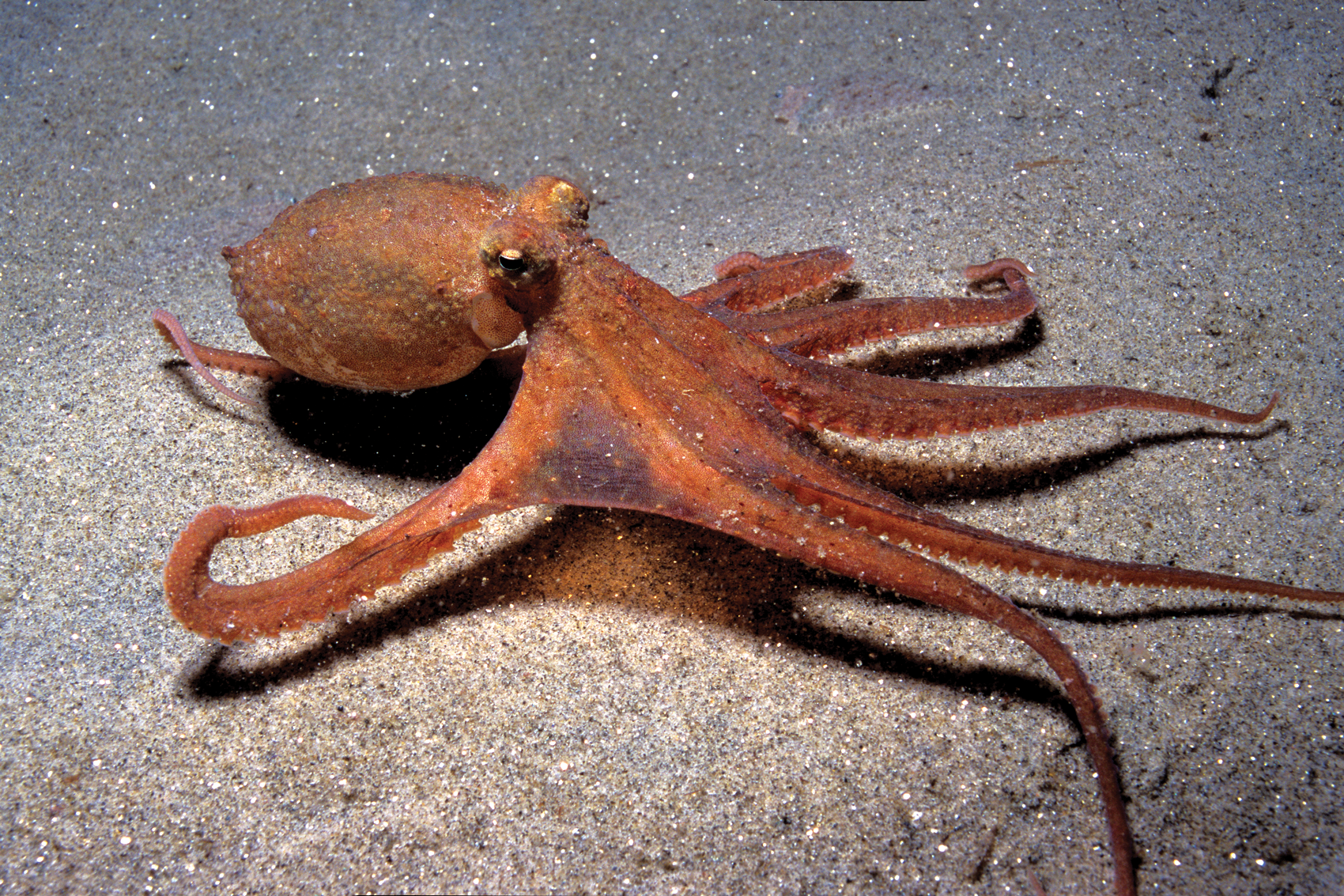 Rolling under the Sea: Scientists Gave Octopuses Ecstasy to Study ...