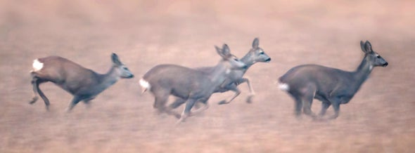 Why Don't Deer Crash into One Another When Startled?