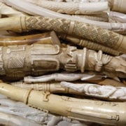 Feds Crush 6 Tons of Ivory to Save Elephants