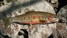 Cutthroat Trout Cross-Breeds to Survive