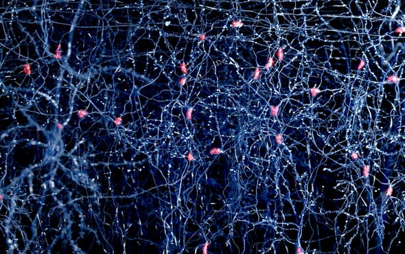 "Researchers Unite in Quest for ""Standard Model"" of the Brain"