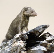 Mongoose Societies Are Skeptical of Strangers