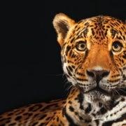 Jaguars May Soon Get Critical Habitat in the U.S.