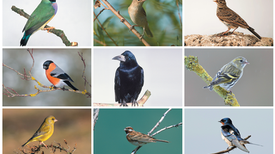 Solving the Mystery of Songbird Diversity