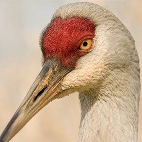 canada's birds, climate change, sand hill crane