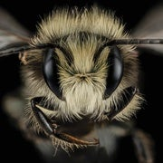 Almond Growers Are Breeding a Novel Replacement for the Embattled Honeybee