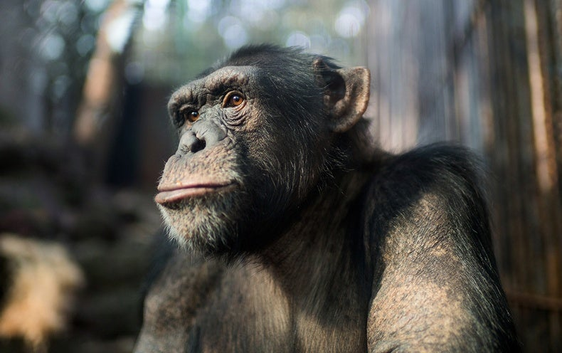an analysis of the features of life of chimpanzees that are similar to that of man Similarities between humans and chimpanzees essay they have developed family ties similar to man essay - with the exploratory analysis of the existing.