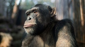 Chimpanzees Are First Animal Shown to Develop Telltale Markers of Alzheimer's Disease