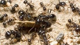 How Ant Colonies Work [Video]