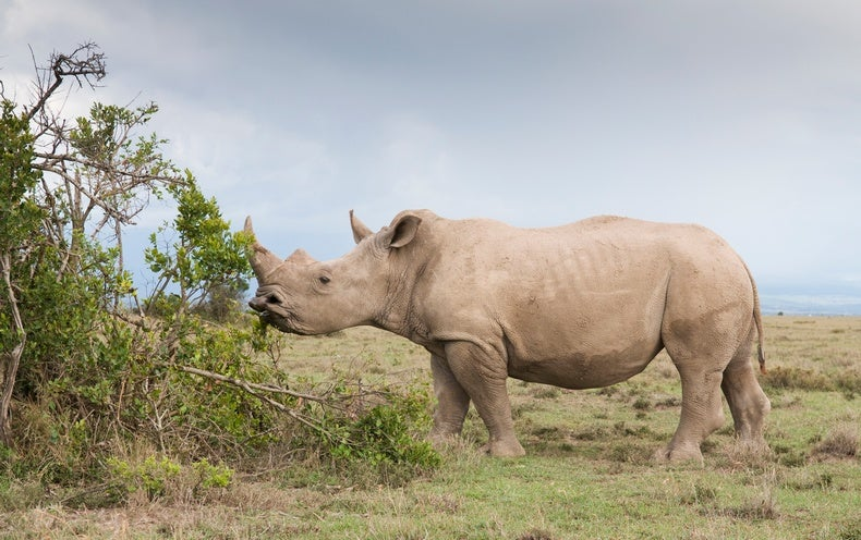 White Rhinos Eavesdrop to Know Who's Who