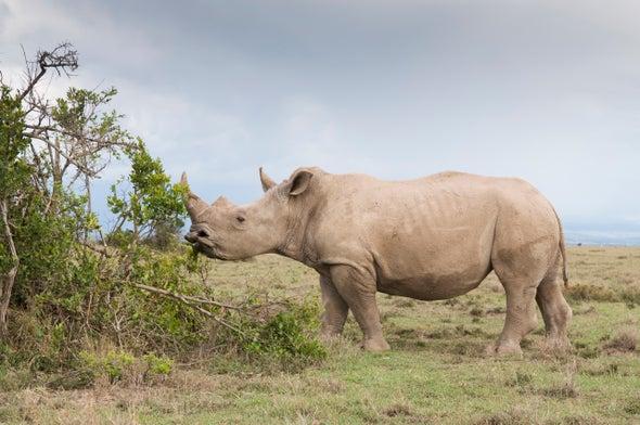 White Rhinos Eavesdrop to Know Who's Who