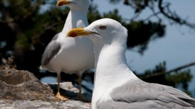 Angry Birds? Seagulls Implicated in Baby Whale Deaths